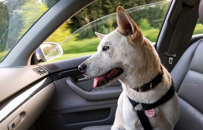 Tesla: Attention au «Dog Mode» qui permet de laisser votre chien seul dans la voiture