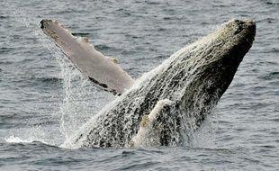 Photographie d'une baleine prise sur la côte de Puerto Lopez en Equateur, le 21 octobre 2015