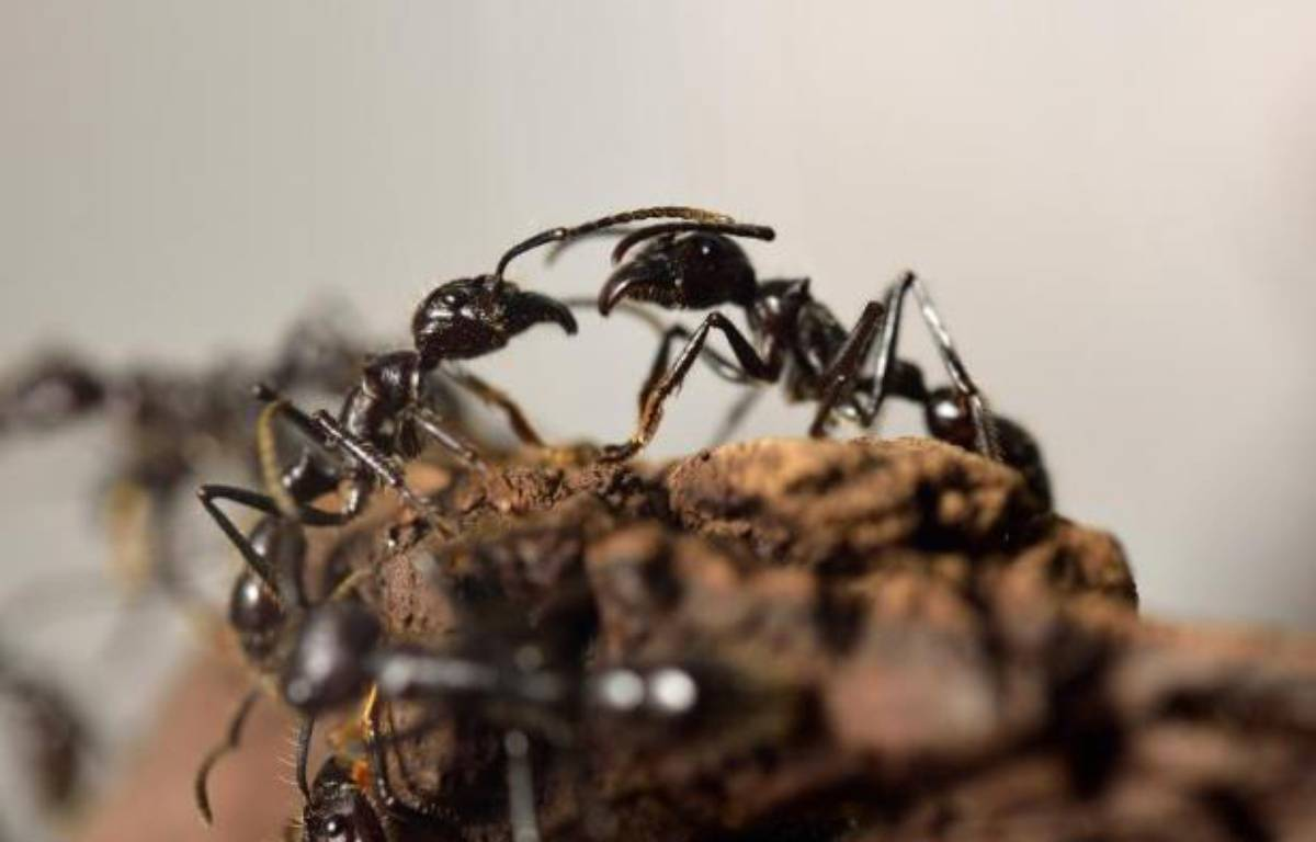 Les fourmis contribuent à nettoyer les villes – Eric Feferberg AFP
