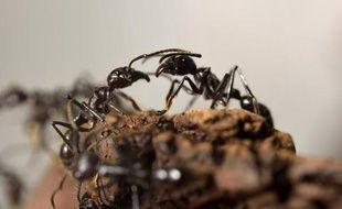 Des fourmis (illustration).