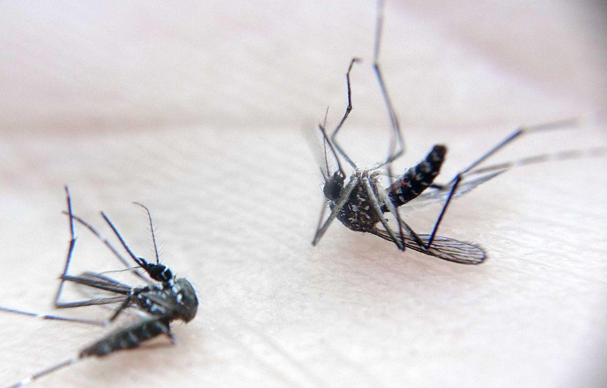 Illustration de moustiques. – LODI FRANCK/SIPA
