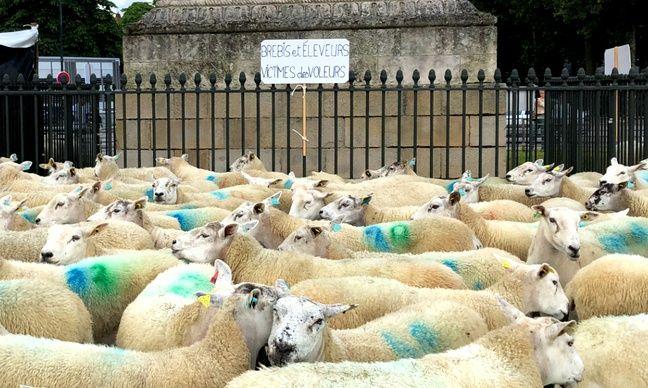 Les éleveurs de moutons ont amené leurs animaux pour manifester à Nantes, le 17 juin 2020.