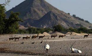 Des oryx (au premier plan) sur l'île de Sir Bani Yas, aux Emirats arabes unis, le 27 novembre 2014