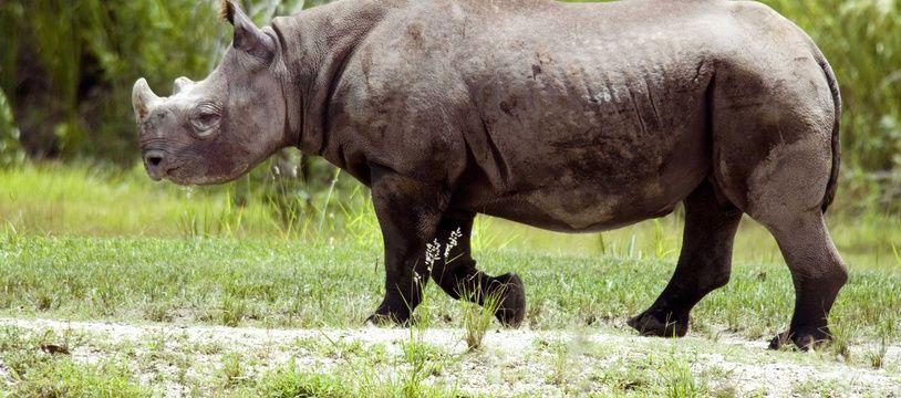 Illustration d'un rhinocéros noir