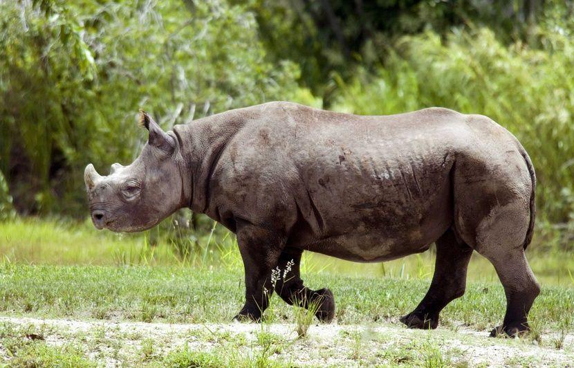 Malawi : Dix-sept rhinocéros noirs sud-africains déplacés pour réintroduire l'espèce