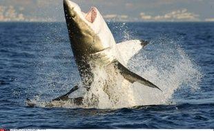 Un grand requin blanc près du Cap, en Afrique du Sud, le 2 août 2013.