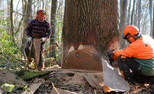 Un chêne tricentenaire de la forêt de Bercé a été abattu jeudi
