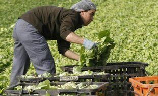 Des cultivateurs récoltent des salades dans une serre, le 16 février 2016 à Thuir, près de Perpignan