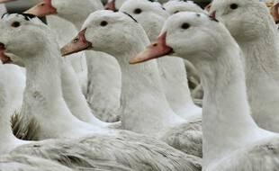 Des canards, plein de canards. (archives)
