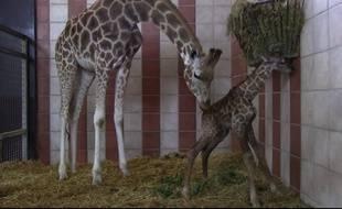 Un girafon est né jeudi 3 août au zoo de la Palmyre.