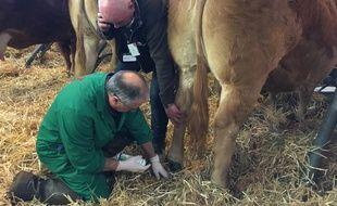 Olivier Chaumeil, vétérinaire, intervient sur une vache qui s'est blessée sous un ergot au Salon de l'agriculture