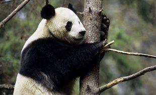 Le panda géant viendrait d'Europe.