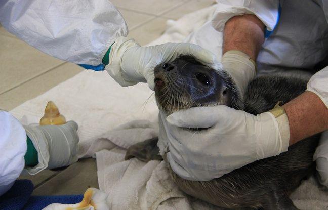 Le bébé phoque annelé, échoué le 24 mars 2018 à Audenge, a été pris en charge par le centre de soins LPO Aquitaine.