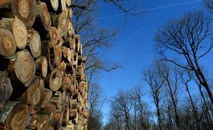 Le champignon a déjà entraîné l'abattage d'une cinquantaine d'hectares d'arbres dans le Finistère.