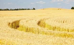 Un champ de blé dans l'Alberta, au Canada.