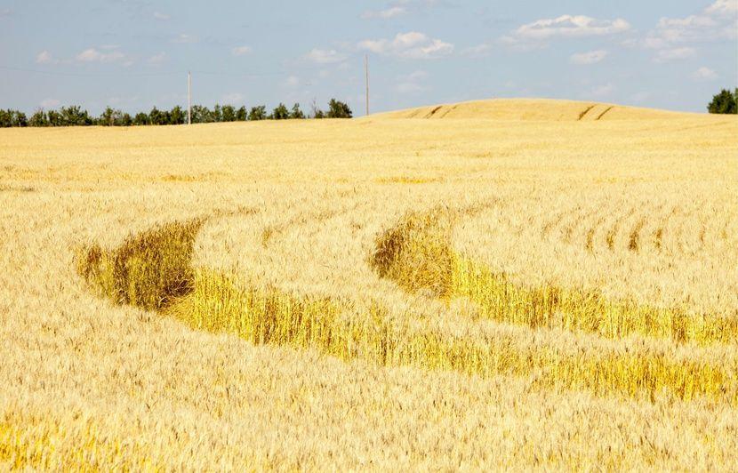 Du glyphosate pulvérisé sur le blé au Canada? La pratique est légale, mais controversée