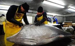 La folie des sushis dans le monde entier alimente un marché noir du thon pesant des milliards de dollars et où les gouvernements collaborent avec le secteur de la pêche, selon une étude publiée dimanche, qui accuse particulièrement les autorités françaises.