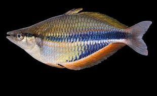"""Une photo du poisson arc-en-ciel """"melanotaenia goldiei""""- découvert lors de l'expédition Lengguru -, prise le 31 mai 2011 et transmise à l'AFP par l'Institut français de recherche pour le développement (IRD)"""