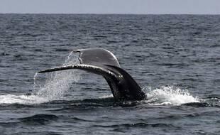 La queue d'une baleine à bosse sort des eaux de l'océan Pacifique à l'île Contadora, au Panama, le 13 juillet 2019.