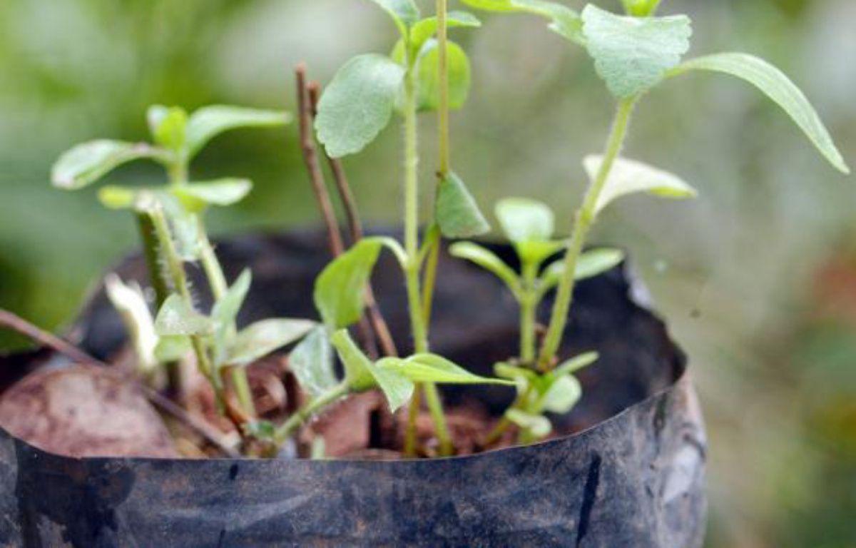 Un plant de stevia, plante à haut pouvoir sucrant désormais autorisée en France. – Jorge Adorno/REUTERS