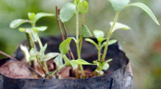 La stevia la plante qui se fait tout sucre - Plante qui fait dormir ...