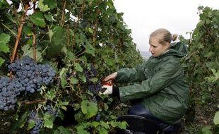 Charly-sur-Marne, le 12 septembre 2008. Une femme vendange des vignes.