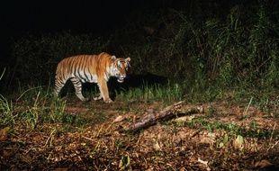 Une photo d'un tigre d'Indochine prise en 2016 par l'association Panthera en Thaïlande en 2016.