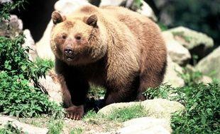 Un ours brun. lllustration.