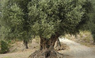 Un olivier millénaire dans un parc à Nice en 2011