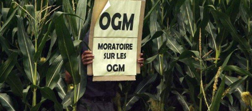 Un militant anti-OGM plante une pancarte dans un champ de maïs pour signaler, après avoir fait un test de détection, que cette parcelle contient des OGM, le 19 Juillet 2007 à proximité du village de Lugos.