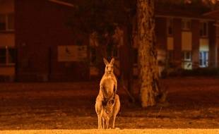 Un kangourou dans la commune de Nowra, le 31 décembre 2019.