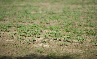 La sécheresse est visible dans les plantations agricoles du Tarn, le 13 juin 2011.