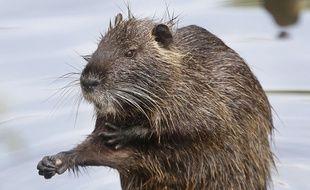 Charles Dayot avait promis de manger un rat... Il a finalement dégusté du ragondin.