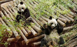Les pandas Huan Huan et Yuan Zi dans leur nouvel enclos du Zooparc de Beauval, le 17 janvier 2012.