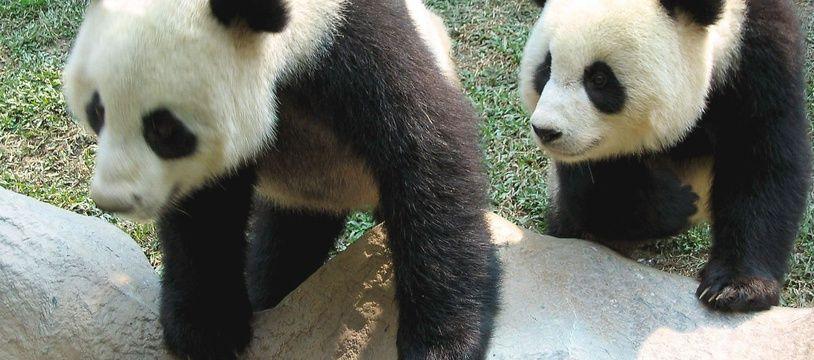 Le panda géant Chuang Chuang (à gauche) et sa femelle Lin Hui dans leur enclos au zoo de Chiang Mai, en Thaïlande.