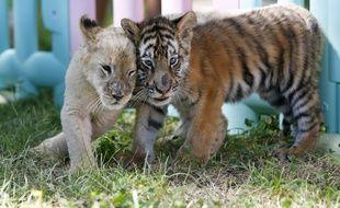 Deux bébés tigres dans un zoo à Pékin, en Chine