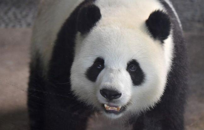 Allemagne: Deux pandas géants sont nés au zoo de Berlin