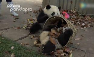 Il en faut peu pour amuser des pandas...
