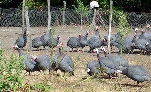 Un élevage de pintades à Bascons, dans les Landes.