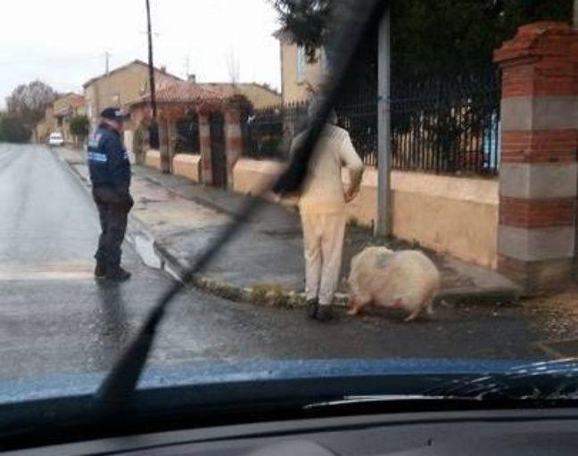 Les gendarmes de L'Isle-en-Dodon sont intervenus pour mettre fin à la divagation d'un cochon, le 16 janvier 2017.