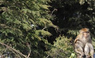 Trente trois espèces de conifères ont été rajoutées à l'édition 2013 de la liste rouge des espèces menacées par l'UICN, l'Union internationale pour la conservation de la nature.