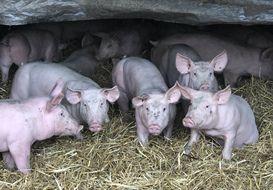 A Médréac près de Rennes, les cochons de Yannick Denoual sont élevés sur paille.