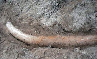 Une équipe de scientifiques pakistanais a découvert, en février 2015, un rare spécimen de défense de stégodon, un cousin éloigné de l'éléphant ayant vécu il y a 1,1 million d'années.