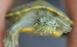 Illustration d'une tortue de Floride