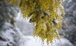 """La neige est tombee en abondance dans l'herault dans la journee du 28 fevrier oÃ"""" 20 a 30 cm ont recouvert la campagne, comme ici a Pradels, l'un des hameaux du village de Saint-Vincent d'Olargues, dans le departement de l'Herault, au coeur du parc naturel regional du Haut-Languedoc. Des paysages insolites en secteur mediterraneen. Ici, des mimosas en fleur.//LODIFRANCK_A77A0741/Credit:LODI Franck/SIPA/1803021005"""