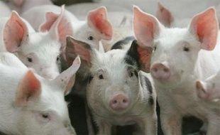Exploitation de cochons