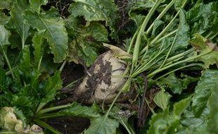 Le Parlement a autorisé en novembre dernier la réintroduction des néonicotinoïdes pour la betterave.