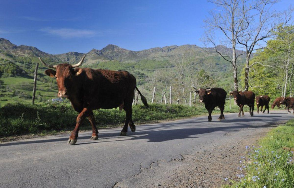 Une vache salers à Mandailles-Saint-Julien, dans le Cantal – THIERRY ZOCCOLAN / AFP