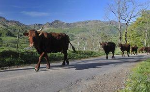 Une vache salers à Mandailles-Saint-Julien, dans le Cantal.