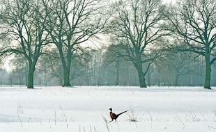 Illustration: Un faisan sauvage dans un champ enneigé près de Radzymin, à 40km de Varsovie, en Pologne, le 7 février 2014.